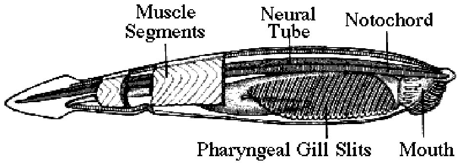 Lancelet diagram - photo#25